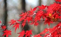 栖霞山枫叶什么时候红 2013栖霞山红枫节是什么时候