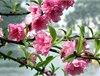 2014年春季哪里可以看桃花 2014国内赏桃花地推荐