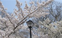 2014青岛中山公园樱花节全攻略 青岛赏樱花好去处