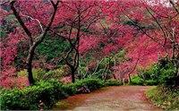 2014台湾哪里可以赏樱花 2014台湾赏樱花地推荐
