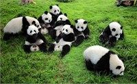 2014成都熊猫基地门票多少钱 成都熊猫基地门票价格