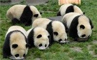 成都熊猫基地好玩吗 成都熊猫基地简介