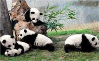 成都熊猫基地有学生票吗 2014成都熊猫基地营业时间