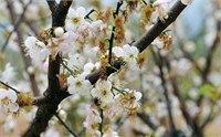 【广州梅花节】2015萝岗香雪梅花节时间 2015萝岗香雪梅花节地点