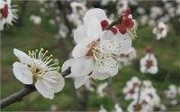 【从化梅花节】2015从化梅花节时间/地点/门票 2015从化梅花节活动一览